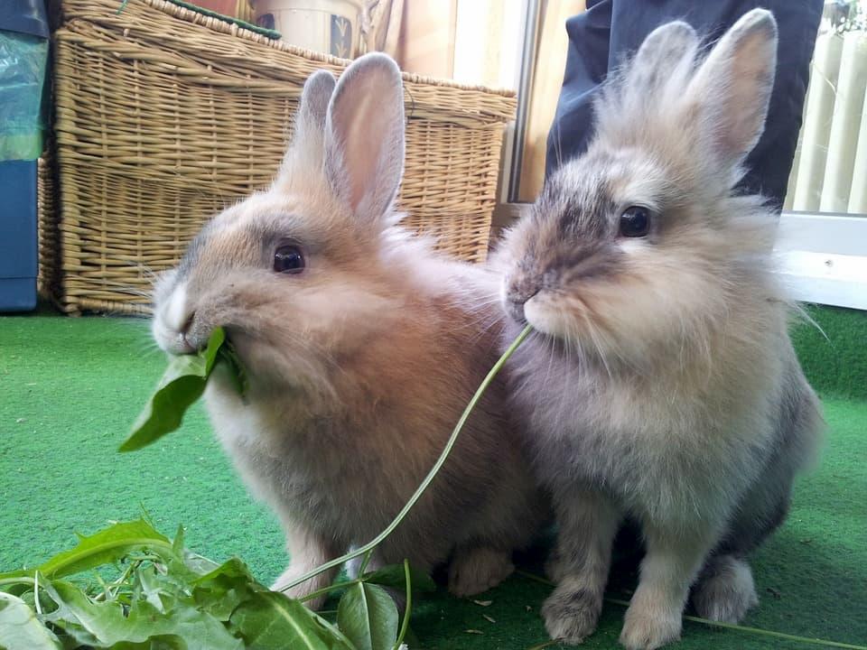Alimentazione-dei-conigli-da-compagnia