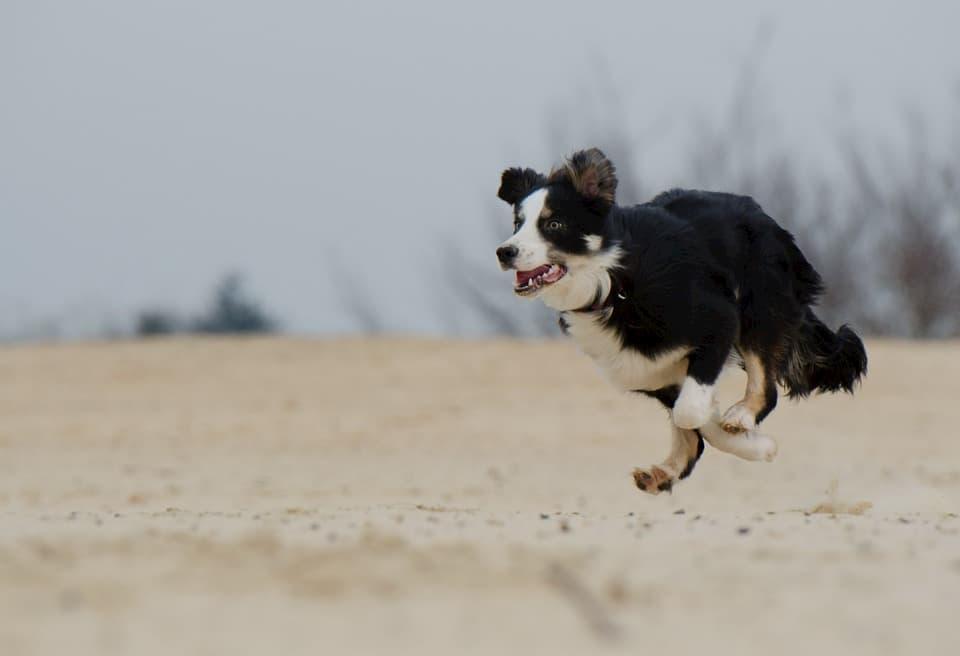 Border-Collie-cane-da-corsa