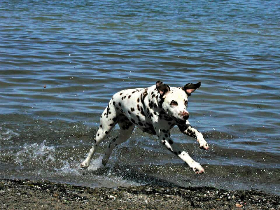 Dalmata-cane-da-corsa
