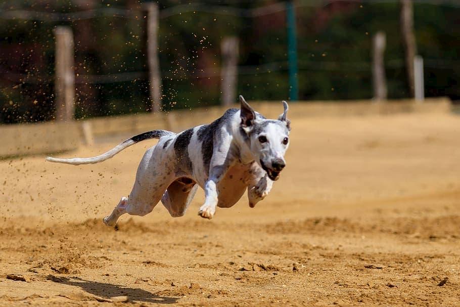 Levriero-cane-da-corsa-1