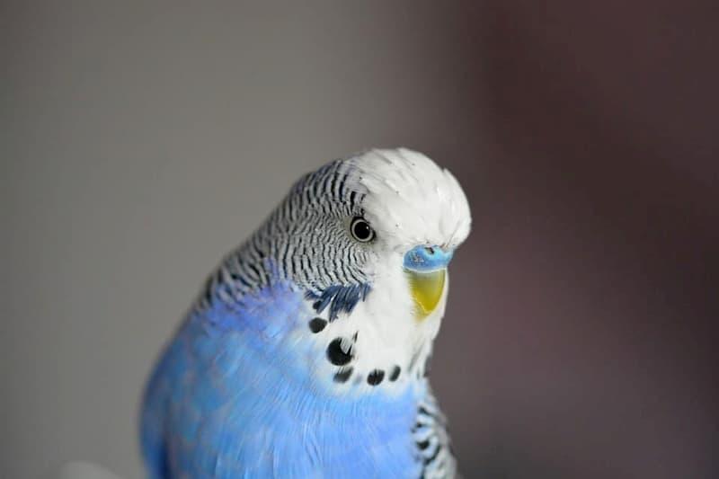 Parrocchetto-dal-collare-pappagallino