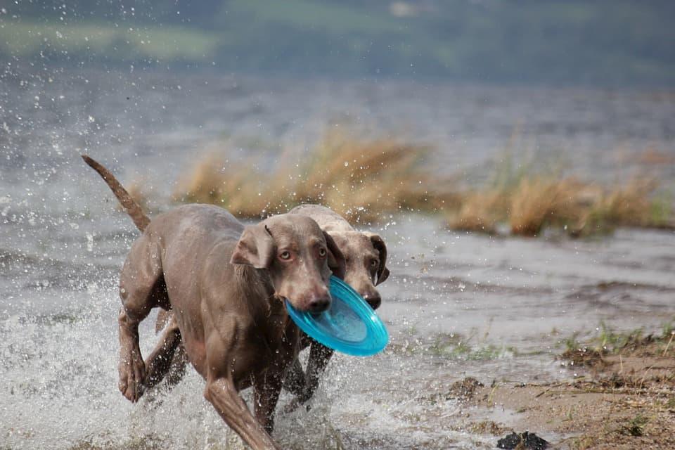Weimaraner-cane-da-corsa