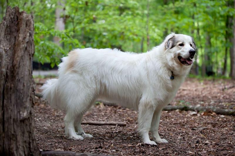 cane-da-montagna-dei-Pirenei