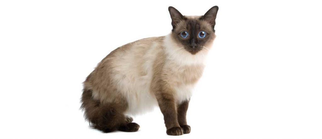 gatto-Balinese