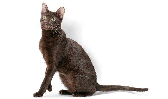 gatto-Havana-Brown