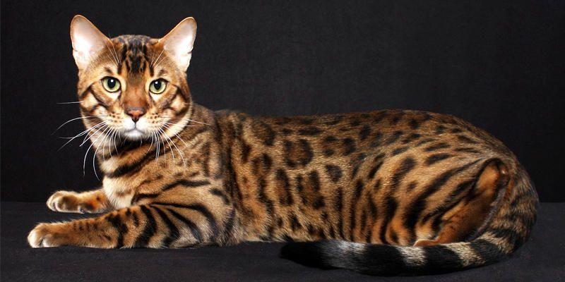 gatto-Savannah