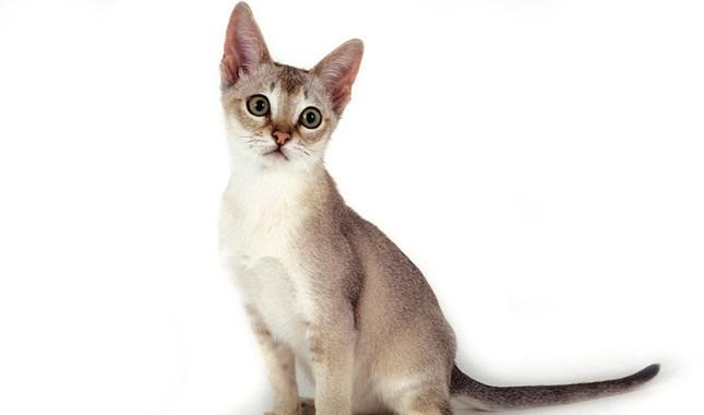 gatto-Singapura
