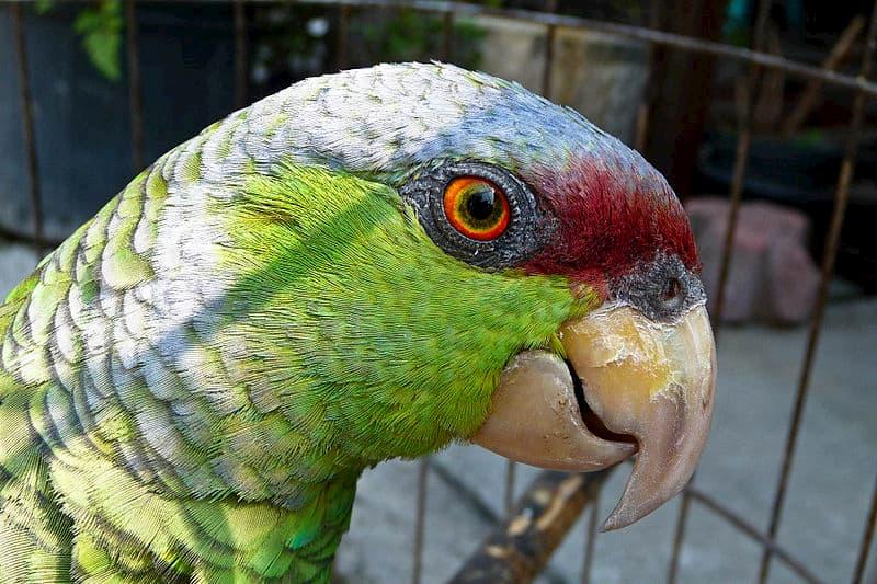 pappagallo-Amazona-finschi