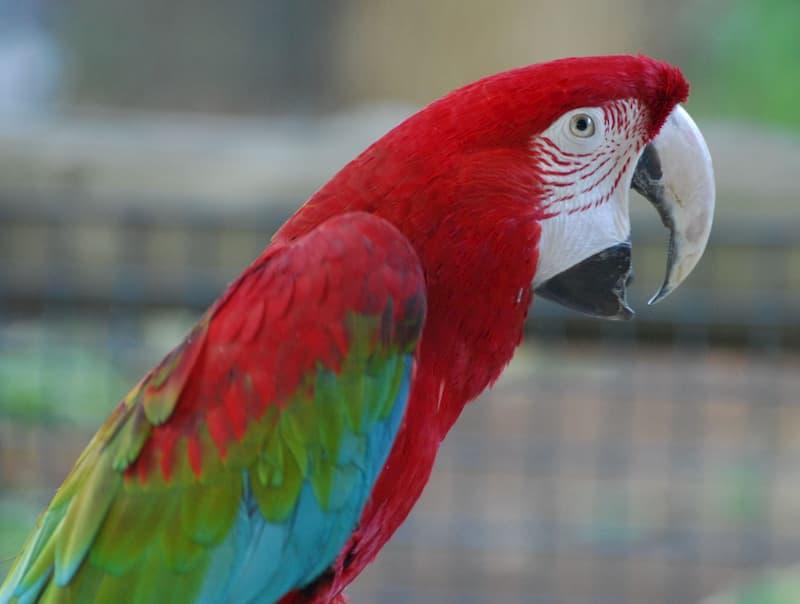 pappagallo-Ara-dalle-ali-verdi