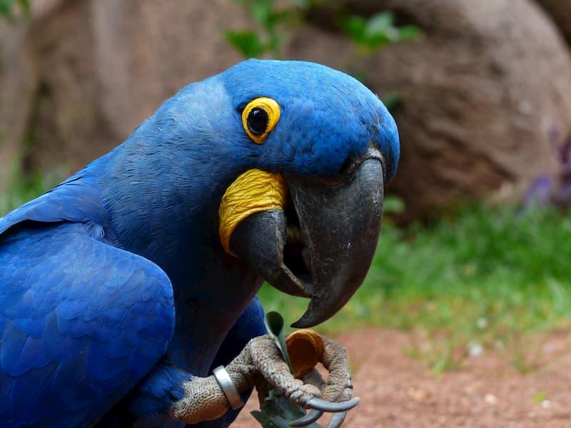 pappagallo-Ara-giacinto