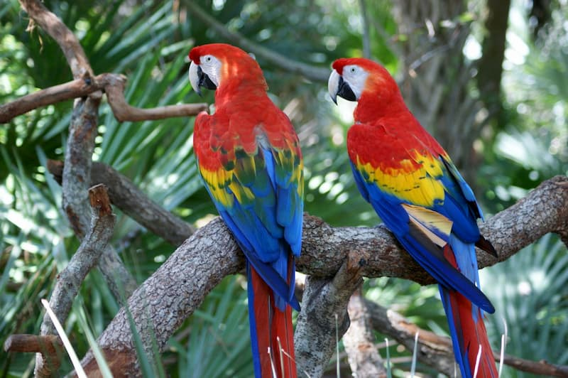 pappagallo-Ara-scarlatta