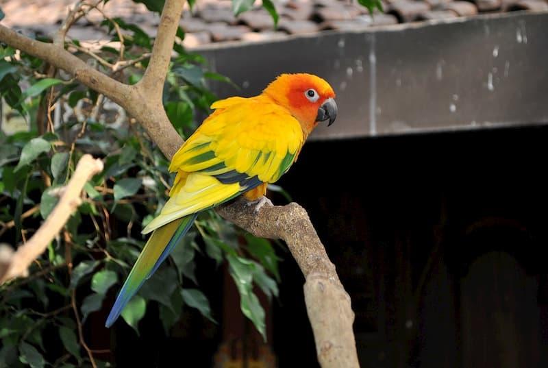 pappagallo-Conuro-del-sole