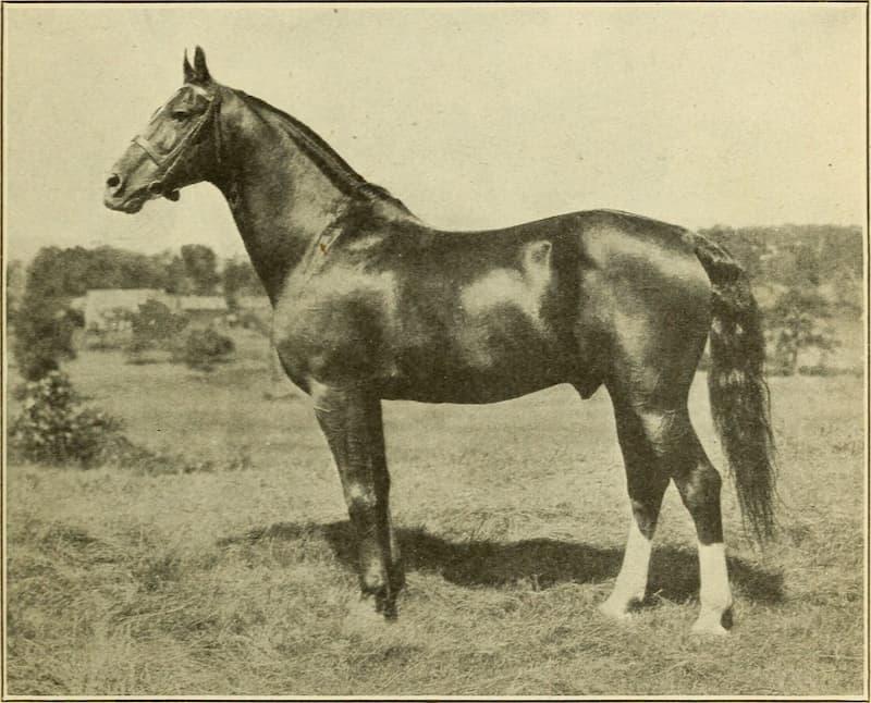storia-del-cavallo-morgan